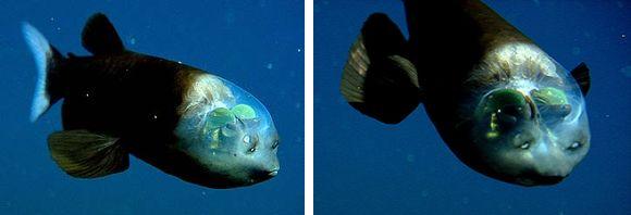 átlátszó hal