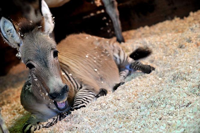 http://www.origo.hu/i/1311/20131113-ippo-a-szamarzebra-felig-zebra25.jpg